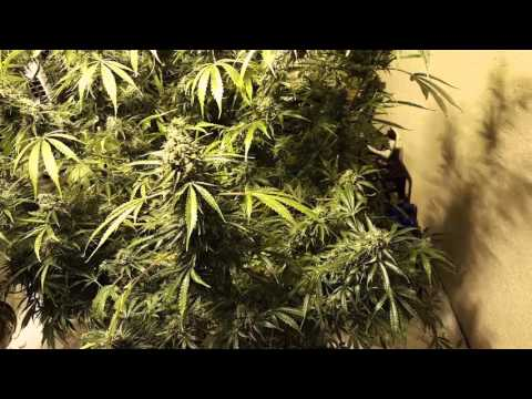 How to get twice the yield    marijuana   watching trichs and hairs