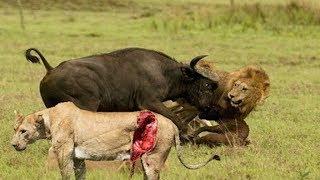 バッファローキルライオン バッファロー対ライオンは 象バッファロー、...