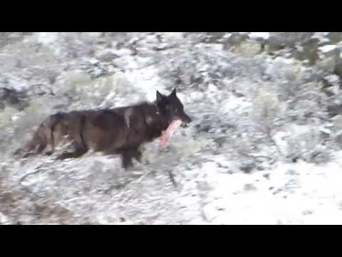 Canyon Pack Wolf 831F with meat - Yellowstone