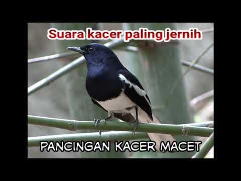 Suara burung kacer untuk pikat / pancingan
