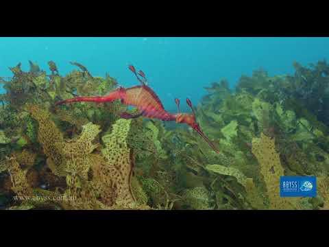 Seadragon Dive