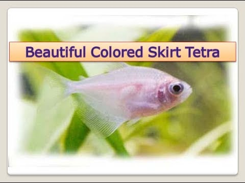 Colored Skirt Tetra Fish Facts