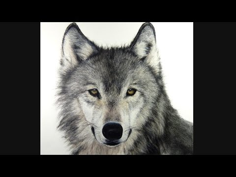 How I Draw A Wolf Hyperrealistic Art Youtube