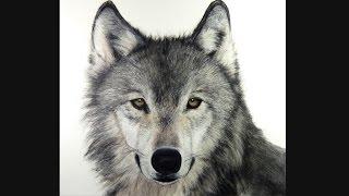 How I draw a Wolf, Hyperrealistic art
