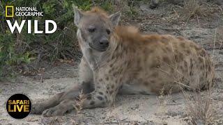 Safari Live - Day 379 Nat Geo Wild