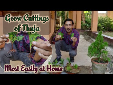 How to Grow Cuttings of Thuja at home most easily with 100% Sure Success