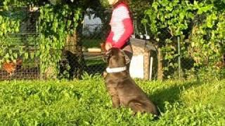 Chůze na prověšeném vodítku v nerušeném prostředí u cane corso