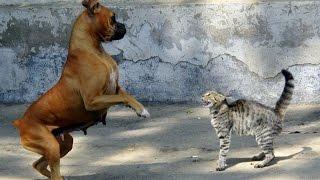 Кот против собаки!!!Нереальная драка! приколы с котами и собаками(Cats LIVE)
