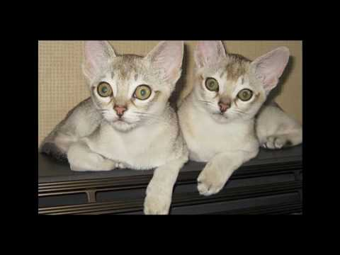 Singapura Cat and Kittens | History of the Singapura Cat Breed