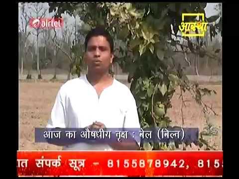 Download Religious & Ayurvedic Plant बेल (बिल्ब )-Acharya Balkrishn Part-2