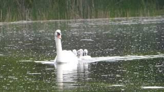 Пять лебедят под прикрытием мамы.