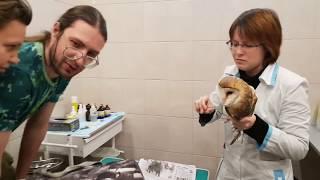 Техосмотр сипухи Пухни - неправильной совы