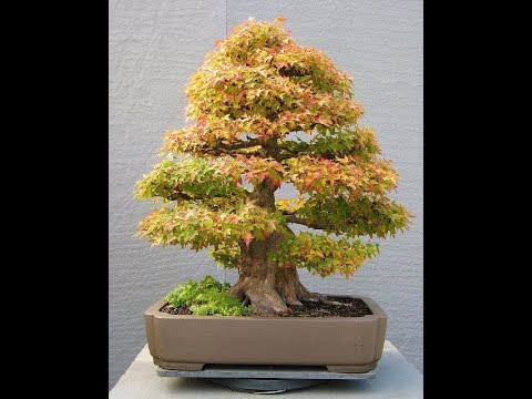 Bonsai Tree Turning Brown