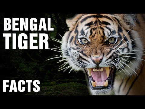 Is The Bengal Tiger Becoming Extinct?