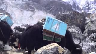 Mountain yak trail,yak carting ,mt Everest base camp trek with white yak