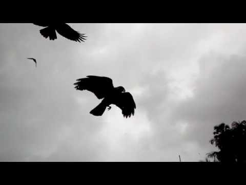 Crow fly (slow motion)