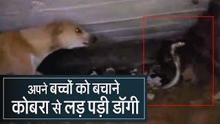 female Dog rescues her puppies from cobra in odisha II Odisha News II Cobra attacks puppies