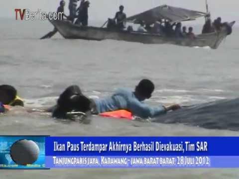 Aksi Penyelamatan Ikan Paus di Karawang
