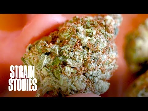 Girl Scout Cookies Weed Strains | SeedSupreme's collection