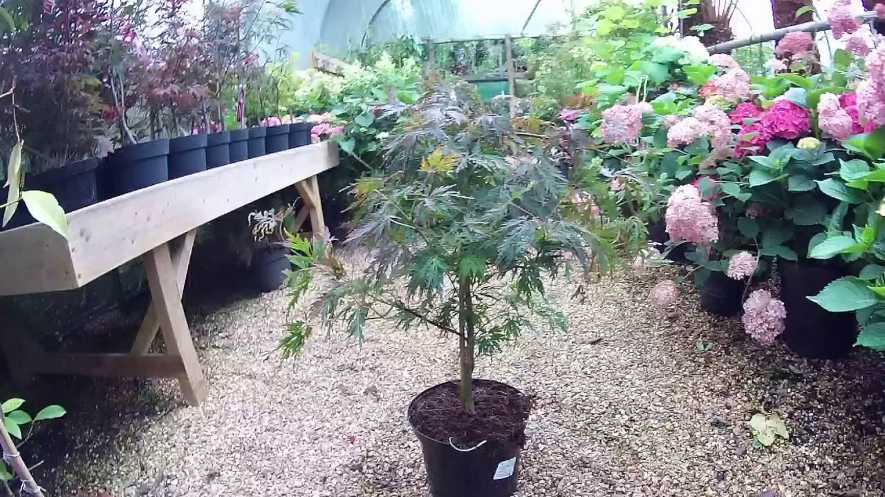 Acer Palmatum Dissectum Orangeola Japanese Maple Big Plant Nursery