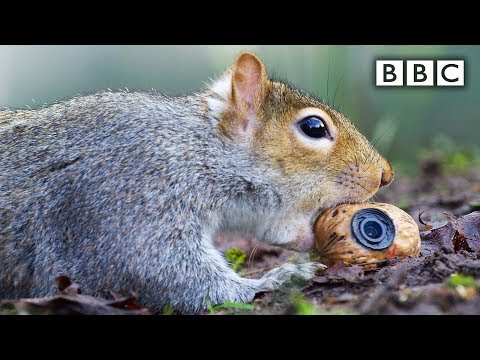 Thumbnail: Squirrel steals a fake nut - Spy in the Wild: Episode 2 Preview - BBC One