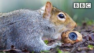 Squirrel steals a fake nut   Spy in the Wild  BBC