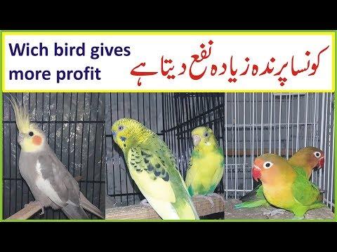 consa parinda ziada profit deta he | cocktail,lovebird,budgies | by waseem zia