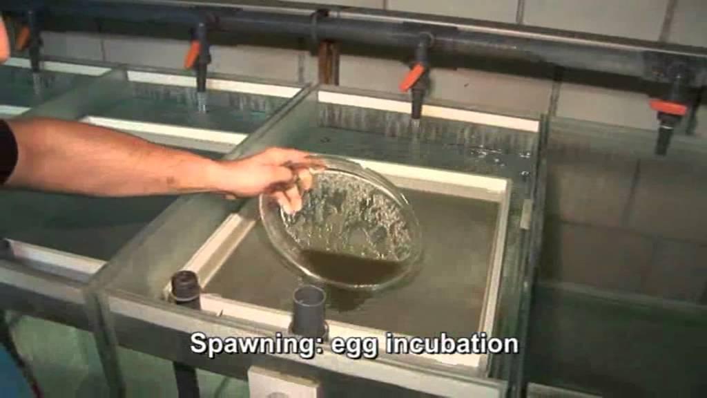 African Catfish Ras Hatchery Fleuren Amp Nooijen Bv Youtube