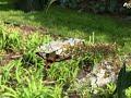 Hemaris thysbe at butterfly bush
