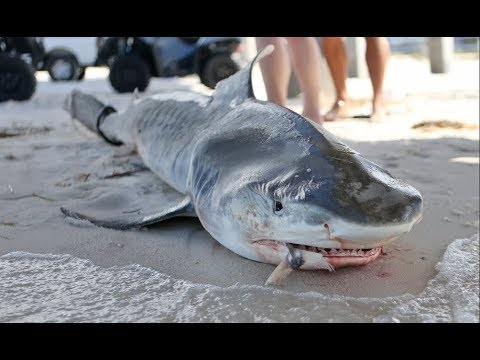 8-foot tiger shark found dangling from Florida pier: report