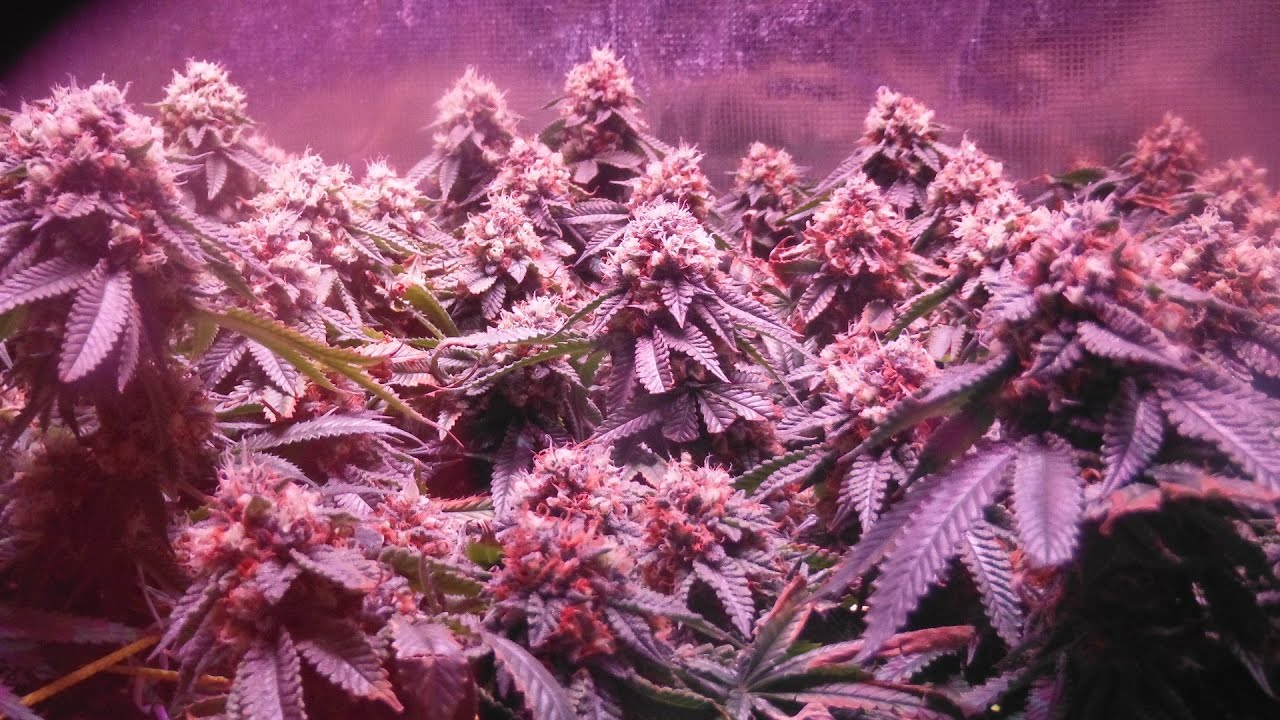 Hydro Grow Leds Day 45 And Golden Tree Nutrients Youtube