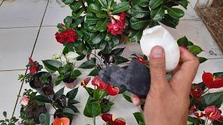 Resultado de Carvão e Casca de Ovo Nas Plantas