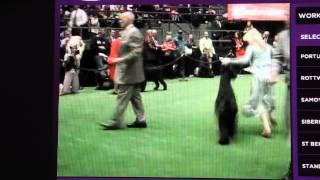 Giant Schnauzer Westminster Kennel Club 2007