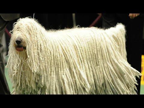 Komondor Dog Facts / Hairy Dog / Unique Dog