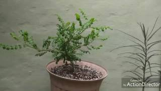 If you'd like to try and grow a boswellia tree yourself we are some...