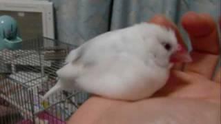 文鳥の甘えっ子さを詰め込んでみた thumbnail