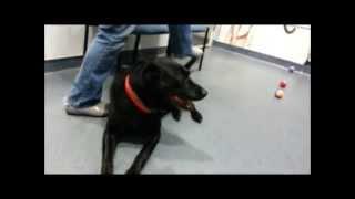 Bo, Gentle 8-1/2-year-old Labrador Retriever ********adopted******  In Manahawkin, Nj