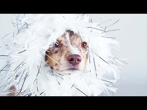 I Will Shave My Hair Off If You Don't Laugh - Funny Dog Compilation