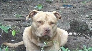 Pencari Kayu Tewas Diterkam Anjing Pitbul