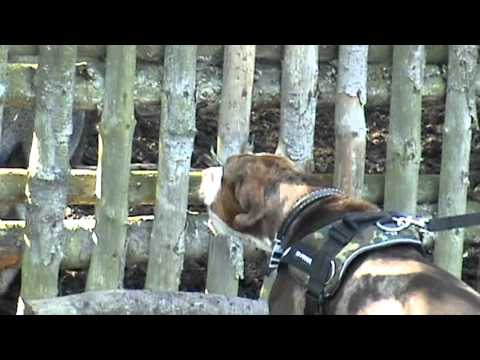 Catahoula Hunting test Troy