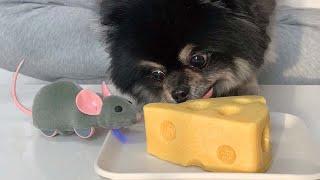 톰과제리 실사판 ㅋㅋㅋ 귀여운 강아지 치즈케이크 먹방 …