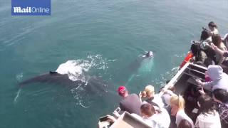 A humpback whale swims under a small fishing boat in the Gold Coast to give it a hug  Daily Mail Onl