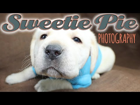 Sweetie pie photoshoot, Labrador puppies! | Sweetie Pie Pets