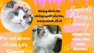 (Nghiêm cấm dưới 18 tuổi) 50 sắc thái phiên bản mèo Ragdoll || 50 shades of Ragdoll cats