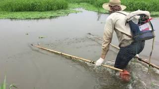 Mùa Cá Trê, Cá Lóc Đẻ, Kích Điện Điện Trúng Toàn Ổ Cá