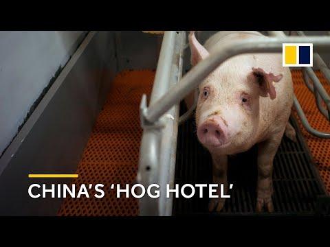 Inside China's 'hog hotel'
