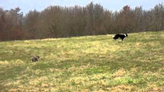 Cairn Terrier Racing With A Wsd......