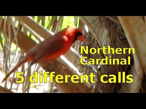 Northern Cardinal Call - 5 different Calls