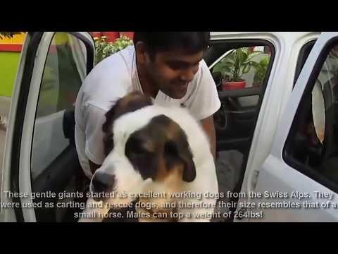 12 Top 10 Heaviest Dog Breeds   Amazing Facts