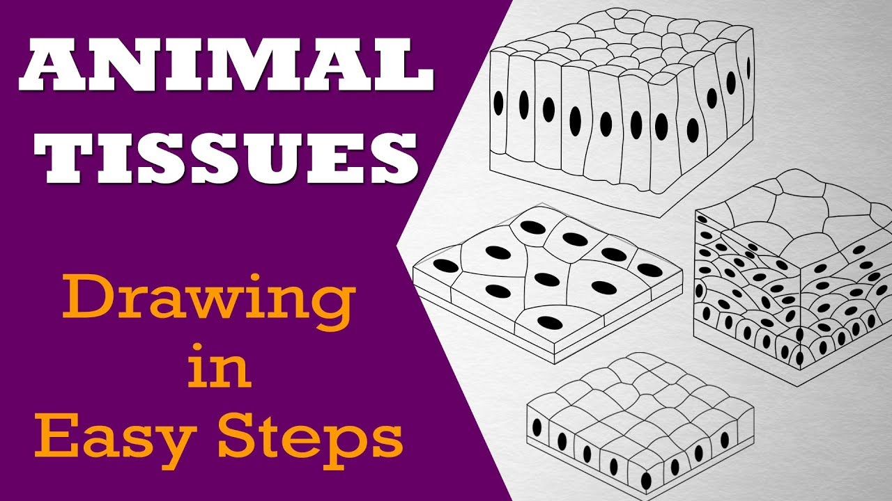 How To Draw  Animal Tissues In Easy Steps   9th Biology   Cbse